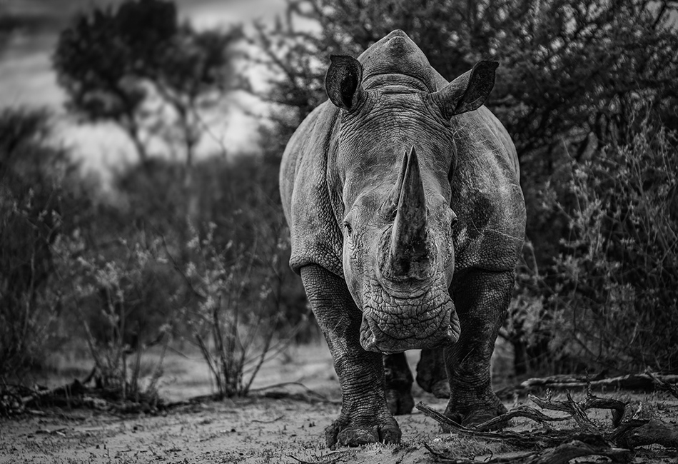 White rhino of Waterberg Wilderness as motif for art photography